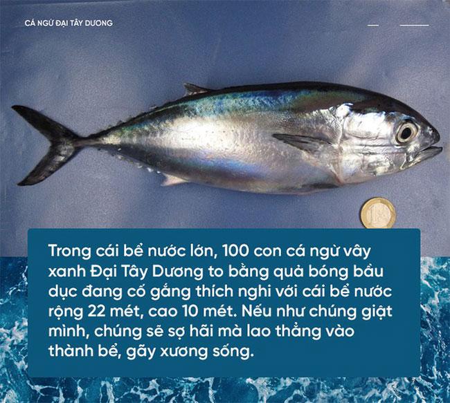 Cá ngừ vây xanh