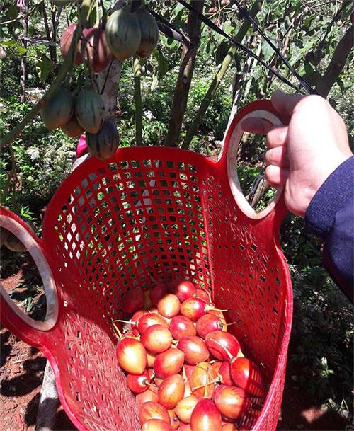"""các khách thường phải """"xếp hàng"""" đặt mua trước vài ba ngày mới mua được cà chua này."""