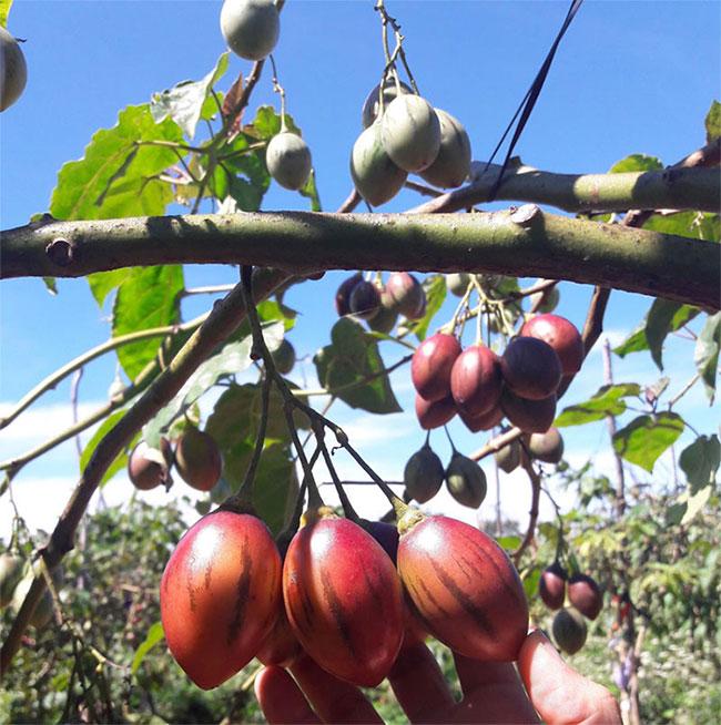 Giá loại cà chua này hạ nhiệt vì chúng đã được một số nhà vườn ở Đà Lạt (Lâm Đồng) trồng thành công và bắt đầu cho thu hoạch.