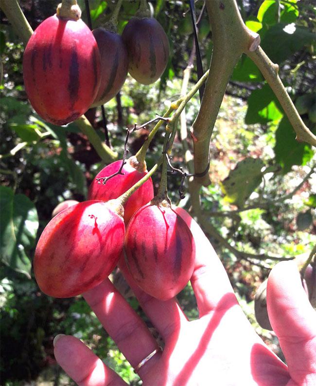 Cây trồng từ 8-12 tháng sẽ đâm hoa kết trái.
