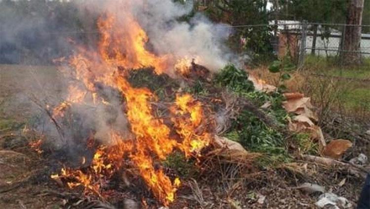 Cánh đồng cần sa bị đốt cháy