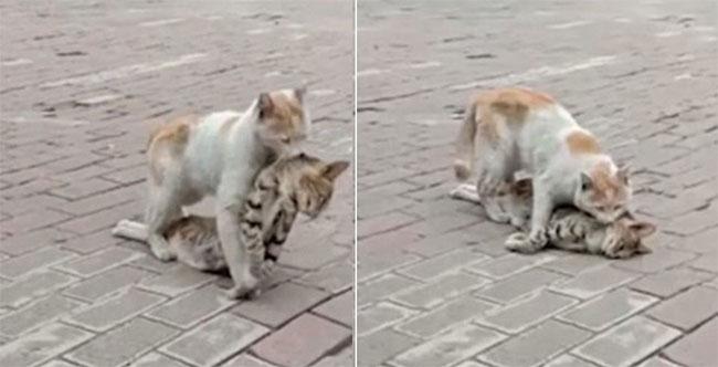 Chú mèo kéo lê xác bạn của mình đến nơi an toàn khiến nhiều người cảm động.