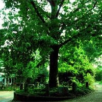 """Ở Mỹ có một cây sồi """"thừa kế"""" đất từ chính """"cha"""" của nó, được luật pháp bảo vệ"""