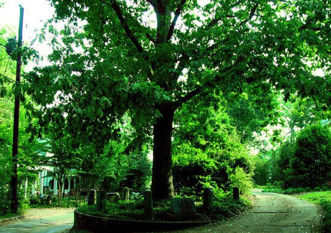 Đứa Con của Cái Cây Tự sở hữu mình - Son of The Tree That Owns Itself. (Ảnh chụp năm 2005).