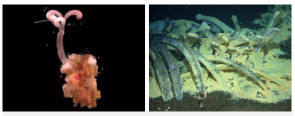Giun thây ma tìm thức ăn từ xương cá voi