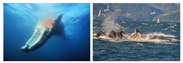 Giai đoạn đầu, xác cá voi thường phồng lên và trôi nổi.