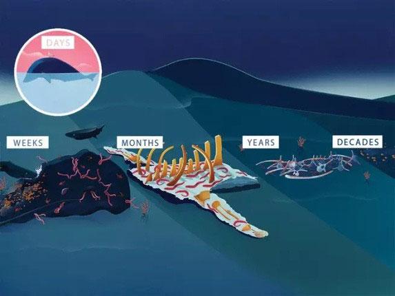 Những điều sau sẽ diễn ra với xác cá voi.