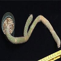 Điều không ngờ về loài xương rồng dị dạng, trị giá hàng tỷ đồng