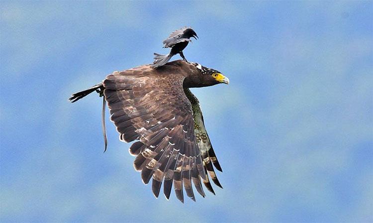 Chèo bẻo đứng trên mình chim săn mồi to lớn đang bay.