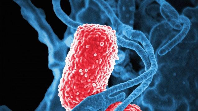 Klebsiella pneumoniae là những vi khuẩn sống trong đường ruột của chúng ta.