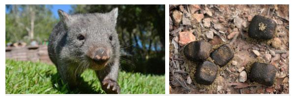 Phân của wombat có hình khối lập phương.