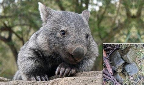 Chất thải có hình khối lập phương là bởi quá trình tiêu hóa của wombat rất chậm.