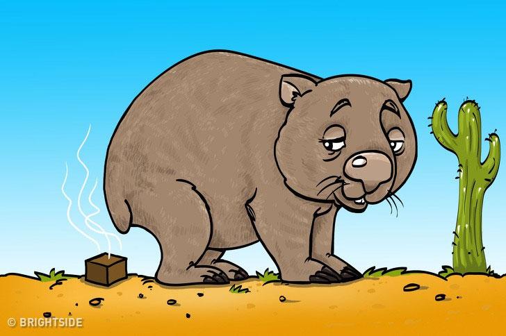 Gấu túi Wombat.