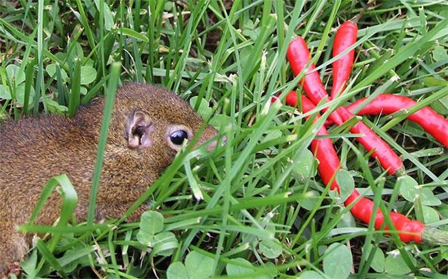 Chuột chù cây có thể ăn tiêu, ớt,... bao nhiêu tùy thích, vượt xa con người.