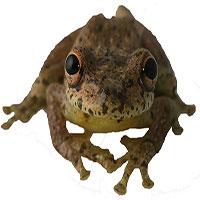Phát hiện loài ếch đặc biệt phát ra âm thanh giống tiếng... dê