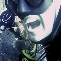 Tôm bác sĩ vệ sinh răng cho thợ lặn