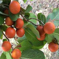 Khám phá loại quả giống cam nhưng cực độc ở Việt Nam