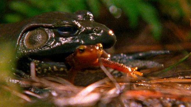 Kỳ giông ăn ếch độc