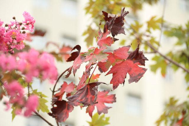 Lá cây phong chuyển từ màu xanh sang màu đỏ sẫm.
