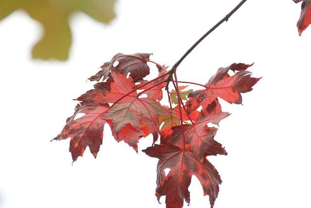 Số lượng cây phong chuyển màu lá đỏ chưa nhiều.