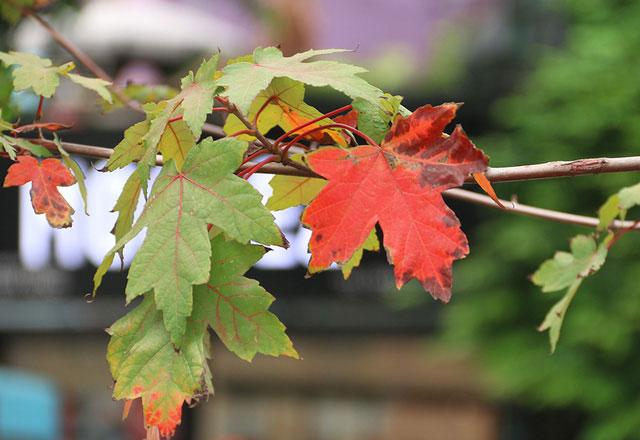 Nhiều cây phong khác cũng đang có dấu hiệu chuyển màu lá.
