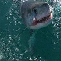 Vụ cá mập phát nổ kinh hoàng giết chết hai người Anh năm 1956