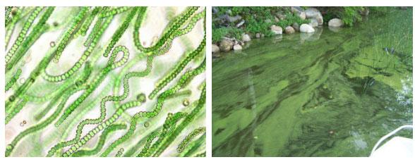 Các nhà khoa học đang lo ngại chất độc mà tảo biển sinh ra có thể ảnh hưởng tới sức khỏe của con người.