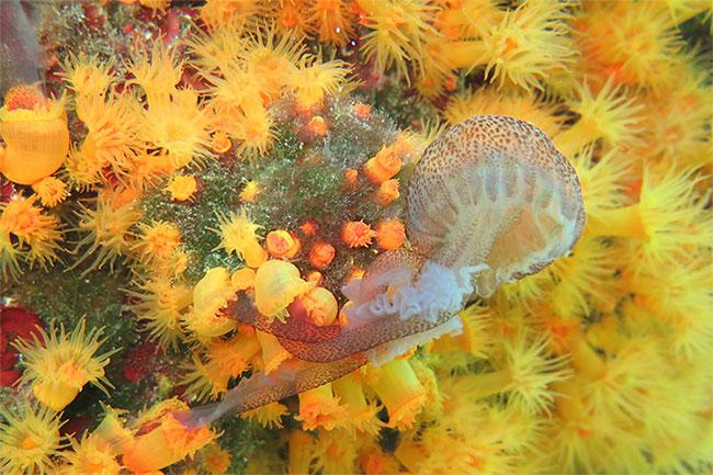 San hô bắt sứa hoa cà