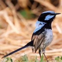 """Loài chim học """"ngôn ngữ"""" mới bằng cách nào?"""