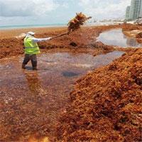 """Hàng chục nghìn tấn tảo đuôi ngựa """"nuốt chửng"""" các bãi biển của Mexico"""