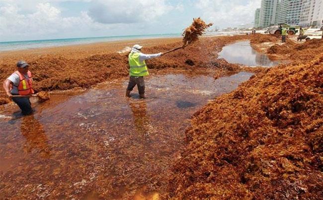 Tảo đuôi ngựa đang gây thảm họa sinh thái cho các vùng bờ biển Mexico.