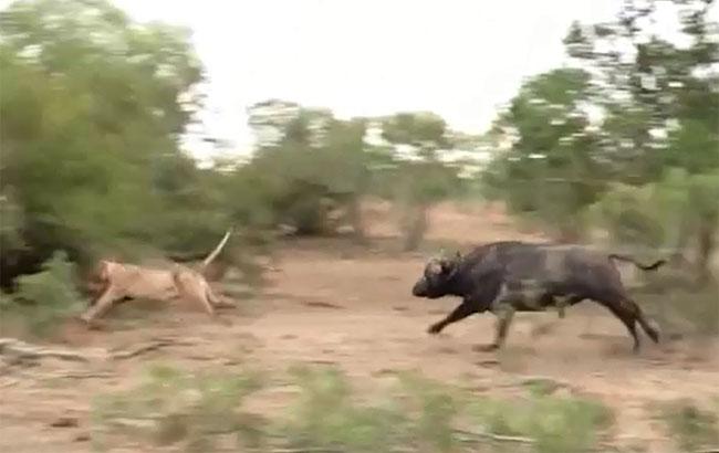 Trâu đuổi sư tử