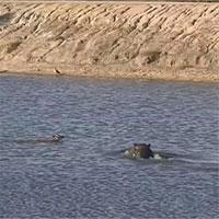 Cuộc đối đầu khó tin giữa cá sấu, hà mã và linh dương