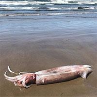 Xác mực dài ba mét dạt vào bờ biển Mỹ