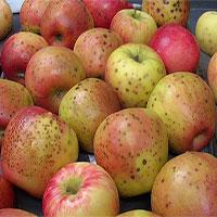 Vì sao trên vỏ quả táo hay lê hay xuất hiện những chấm nhỏ li ti?