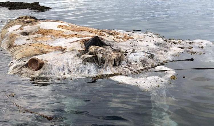 Xác cá voi nằm trên bãi đá.
