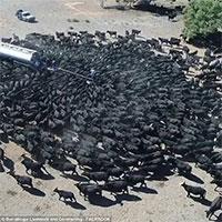 Hạn hán chưa từng thấy ở Úc tạo ra cảnh kỳ lạ này