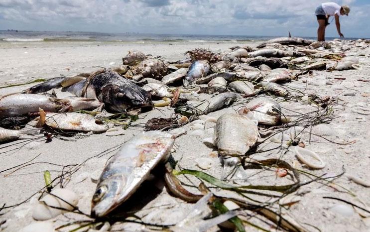 Thủy triều đỏ là hiện tượng bùng nổ số lượng vi tảo, biến nước biển thành màu đỏ.