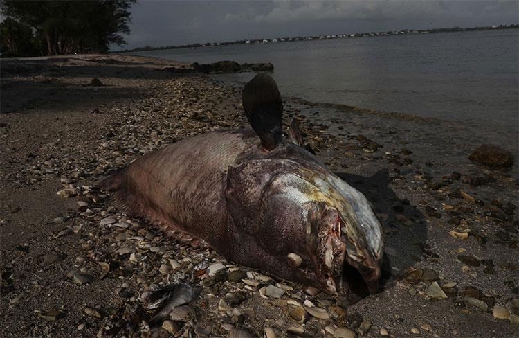 Hàng nghìn con cá, rùa biển, chim biển, lợn biển và một con cá mập đã chết vì thủy triều đỏ kéo dài.