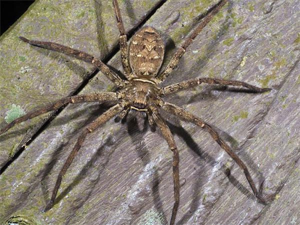 Chi nhện phổ biến ở mọi nơi trên thế giới.