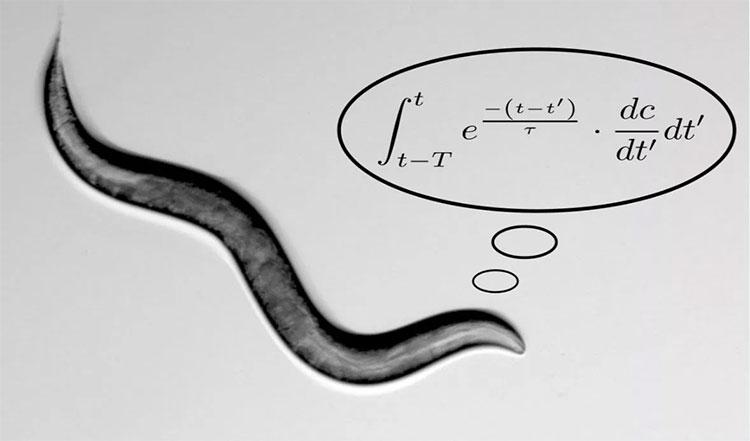 Các nhà khoa học đã dựng nên các phương trình toán học phức tạp từ hành vi tìm kiếm thức ăn của loài giun