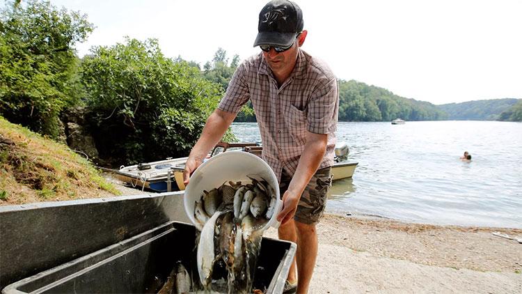 Cá chết được thu vớt trên sông Rhine hôm 6/8.