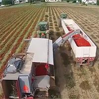 Máy phân loại cà chua xanh chính xác tới 98%
