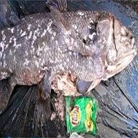 """Túi nylon trong bụng loài cá """"hóa thạch sống"""""""