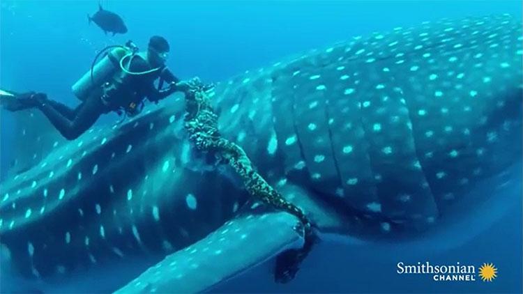 Cá mập voi đang được giải cứu khỏi dây thừng siết cổ.