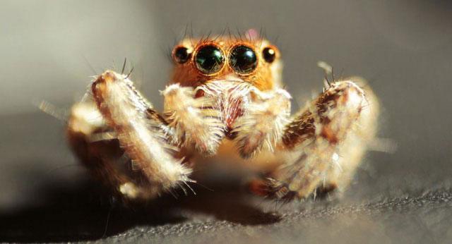 Tơ nhện nhân tạo sẽ đắt gấp đôi sợi kevlar và nylon.