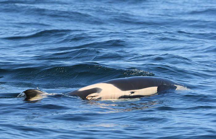Cá voi sát thủ sau khi sinh sẽ ở cùng con mình, ngăn không cho nó chìm xuống quá lâu để có thể hít thở đầy đủ.