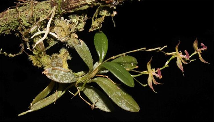 Loài phong lan mới được phát hiện ở Peru.
