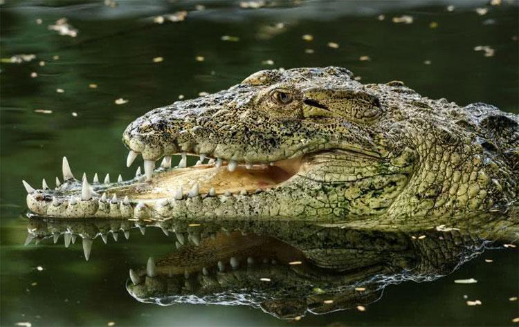 Con cá sấu không may bị gãy xương hàm.