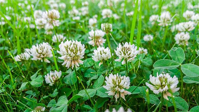 Cây này nuôi dưỡng đất bằng nitơ, đồng thời là nguồn mật hoa quan trọng cho ong và các loài thụ phấn khác.